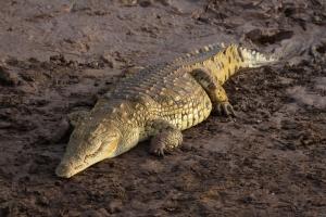 Flickr_-_don_macauley_-_A_fat_crocodile_2