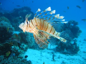 Lionfish_in_coral_reef_2004-11-17