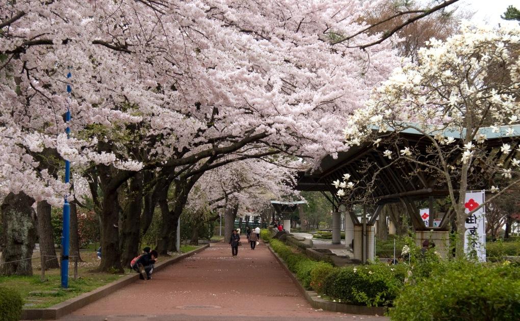 Tsutsujigaoka_Park_in_the_cherry_blossom_season.jpg