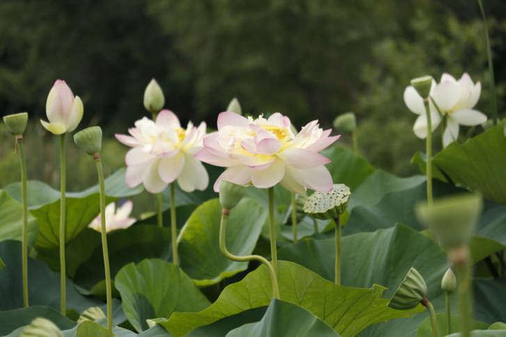 lotus1-727x485