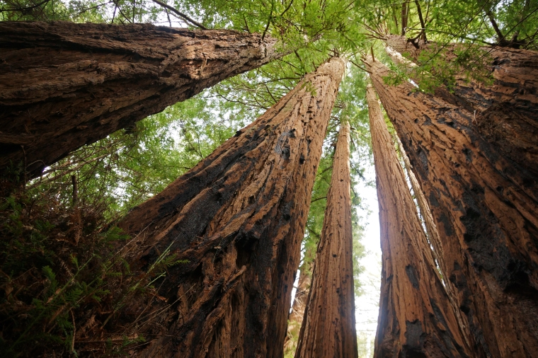 Sequoia_sempervirens_Big_Basin_Redwoods_State_Park_4